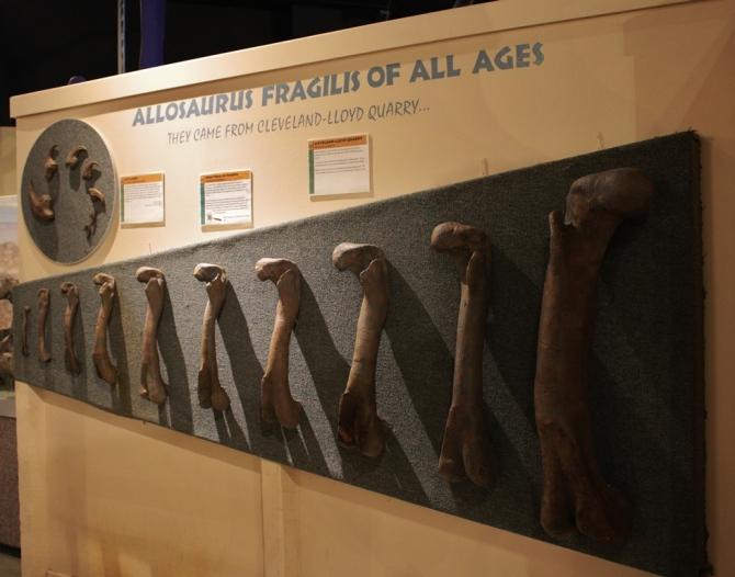 allosaurus-bones