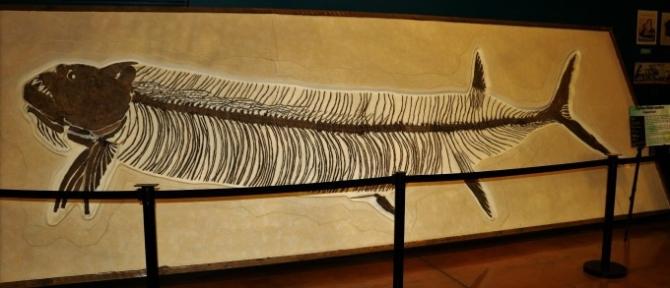 "alt=""Xiphactinus Fossil"""