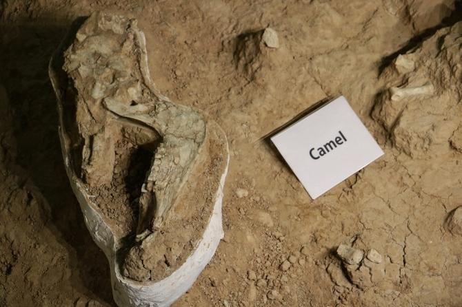 17-prehistoric-camel