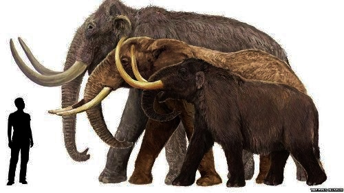 Columbian Mammoth vs modern African elephant & Wooly Mammoth