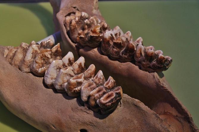 mastodon-teeth