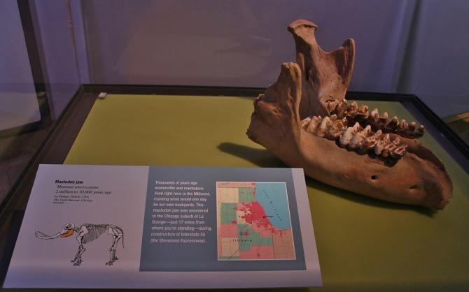 illinois-mastodon-jaw