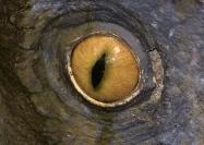 4 Styracosaurus eyeball