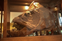 Xiphactinus Skull