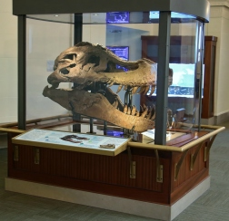 Sue T-Rex Real Skull 1