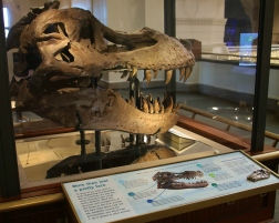 Sue T-Rex Real Skull 2