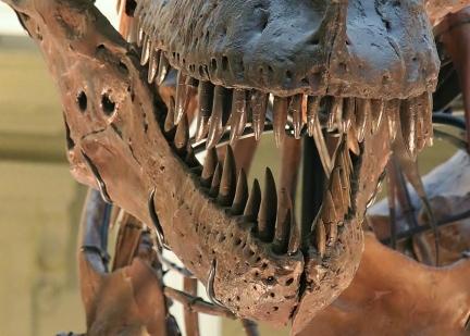 Tyrannosaurus Rex Sue Teeth Replicas
