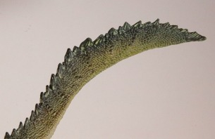 PNSO Spinosaurus Tail 2